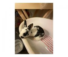 6 pedigree Mini Rex bunny rabbits