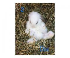 5 Mini Lop babies for sale