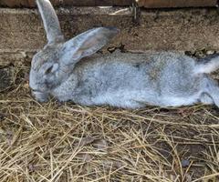 TAMUK rabbits 2 Boys and 1 Girl