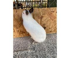 One Himalayan Male Netherland Dwarf Bunny