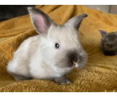 Two cute Satin Angora Bunnies For Sale