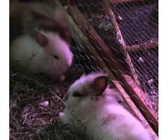 Two 8 weeks old female dwarf lions head bunnies
