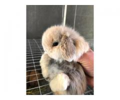 Cute adorable Holland lop eared bunny rabbits