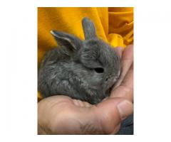 4 Holland lop kits bunnies for sale