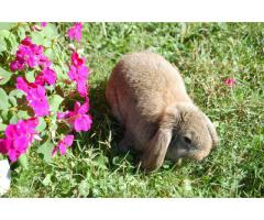 2 Full blooded Mini Lop bunny rabbits
