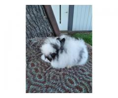 2 Papered lionhead bunnies rabbits for sale