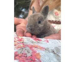 Mini Rex bunnies for sale