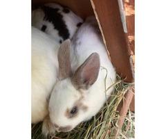 Three mini-rex bunny rabbits available