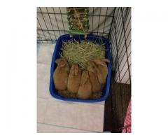 5 Flemish Giant baby bunnies for sale