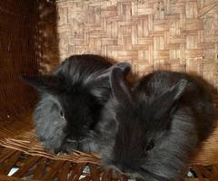 9 weeks old Lionhead Bunnies
