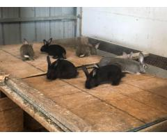 Flemish giant bunnies looking for new homes