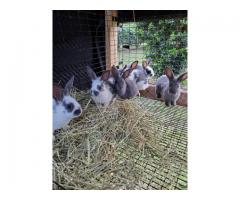 9 New Zealand baby rabbits who are looking for a new home
