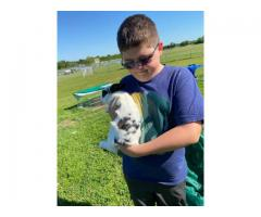 Pedigreed black and white spotted Holland lop buck