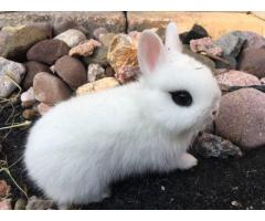 Cute dwarf hotot bunnies up for adoption