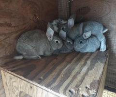 6 week old pedigreed American Chinchilla bunnies