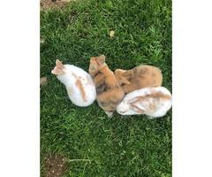 Baby cinnamon/rex bunnies for sale