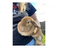 Female holland lop bunny