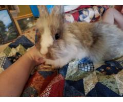 Male lionhead bunny looking for a new home