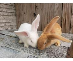 2 Flemish Giant Baby Bunnies available.