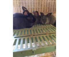 5 week old Purebred Silver Fox bunnies