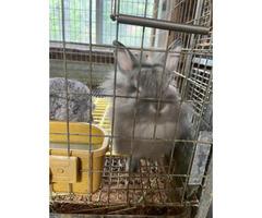 10 week old lionhead bunnies looking for loving homes