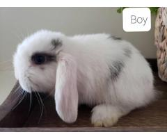 2 Purebred Holland Lop Baby Bunnies for Sale