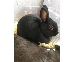 2 Netherland Dwarf bunnies for sale