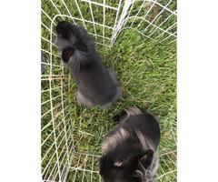 2 lionhead/polish bunnies for sale