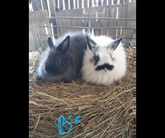 6 jersey woolies bunnies for sale