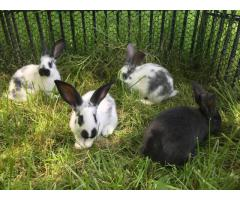 6 pretty Flemish giant babies looking for foster care