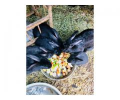 Buck & Doe Flemish Giant Bunnies for sale