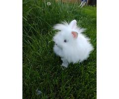 Double mane Lionhead bunny for sale