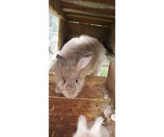 6 baby Angora bunnies for sale