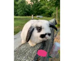 Beautiful Holland lop bunnies