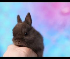 Purebred Netherland Dwarf Bunnies for Sale
