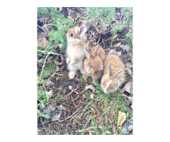 3 Purebred French Angora bunnies for sale