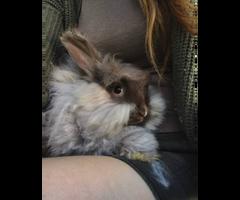 Pure pedigree English Angora bunnies