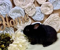 Dwarf Hotot bunnies in need of loving homes