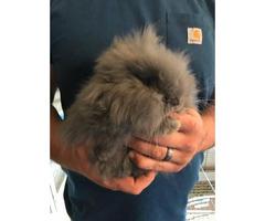 12 weeks old Lionhead Bunnies