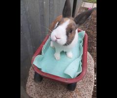 2 Purebred pedigreed Tortoise shell Dutch bunnies for sale