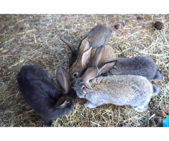 6 weeks old Flemish Giant bunnies for sale