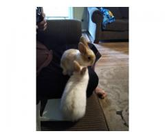 Mini Plush Lop bunnies 1 female 2 males