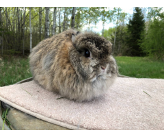 3 Jersey Wooly rabbits Looking for a loving home