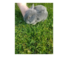 5 bucks and 4 does Silver Fox Rabbits for sale