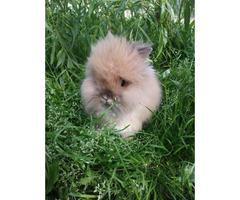 double mane lionhead bunnies for sale