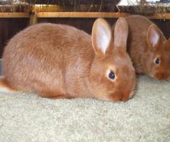 Thrianta Bunnies for sale