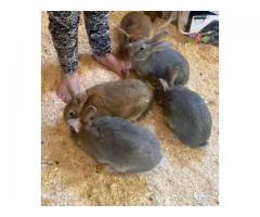 6 month old flemish giant bunny for sale