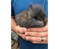 8 weeks old Fluffy Lionhead baby bunnies ready to go