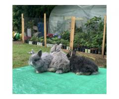 4 Jersey wooly bunnies in need of a new home