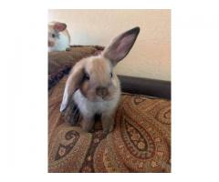 Very sweet and loving Mini Holland lop babies
